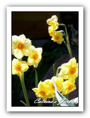 Daffodil-tazetta-Canary-Bird