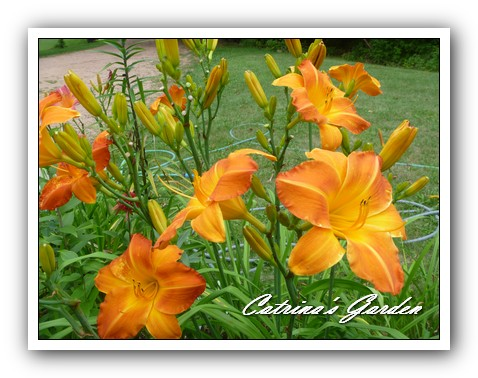Daylily Bright Sunset (4)1