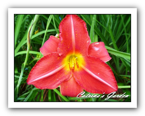 Daylily Christmas Present
