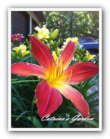 Daylily Christmas Ribbon1