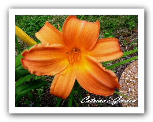 Daylily Copper Summer