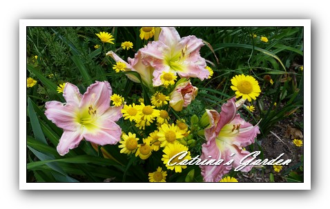 Daylily Helen Shooter and marguaites1