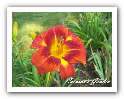 Daylily Holiday delight