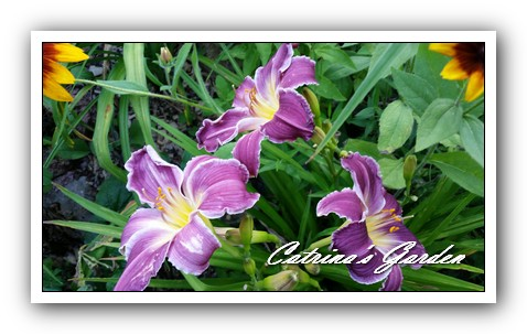 Daylily Indian Giver1