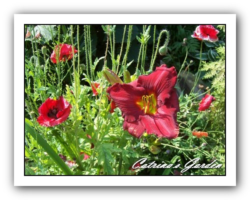 Daylily October Ruby with flanders poppies