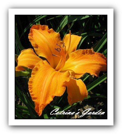 Daylily Primal Scream