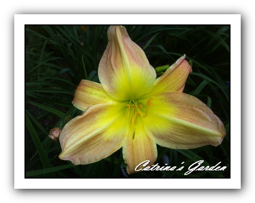 Daylily Rustic Dream