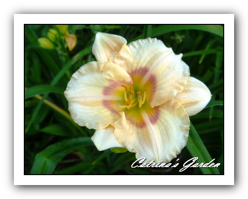 Daylily Siloam Dream Baby