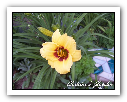 Daylily Siloam June Bug