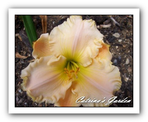 Daylily Siloam Paul's Surprise