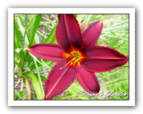 Daylily Sultan's Ruby
