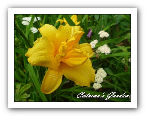 Daylily Super Double Delight