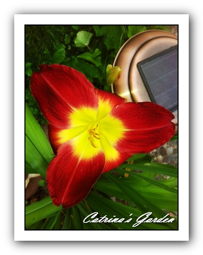 Daylily When I Dream