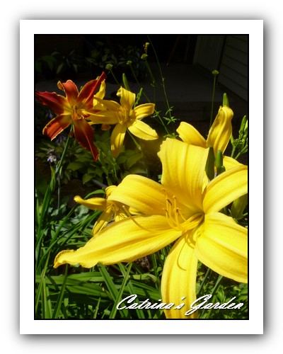 Daylily firestorm and Gold Spider