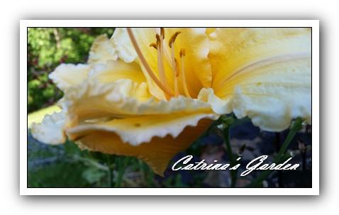 Daylily wild ruffles (5)1