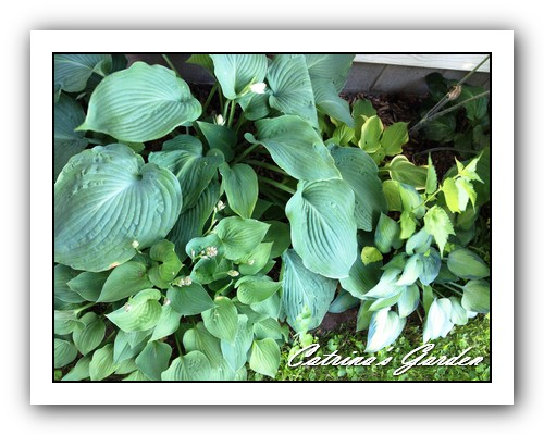Hosta Blue Angel, Count Your Blessings, Blue Dimples and Paradise Joyce