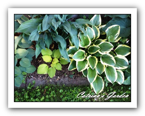 Hosta Blue Cadet, Krossa Regal, Fire Island and Queen Josephine