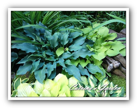 Hosta Elvis Lives, little Aurora, Fire Island and Island Charm1