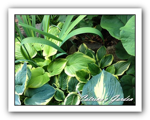 Hosta Fragarent Boquet, So Sweet, Diana Remembered, Wolverine, Thunderbolt