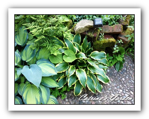 Hosta Lakeside hoola hoop and June