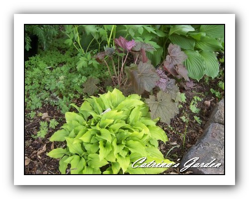 Hosta Lemon Lime and Heuchera purple palace