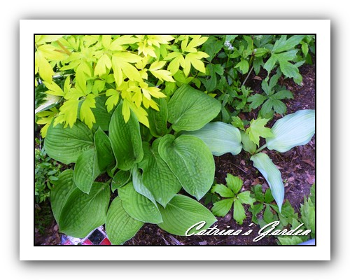 Hosta Lunar Orbit and Katherine Lewis, Bleeding Heart Gold Heart