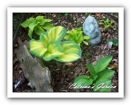 Hosta Marilyn, Great Expectationsm Twist of Lime and Striptease with Primrose