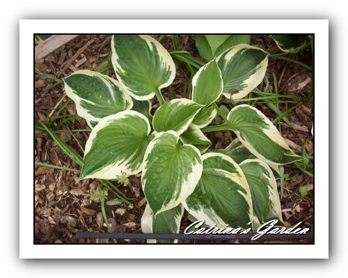 Hosta Minuet Man
