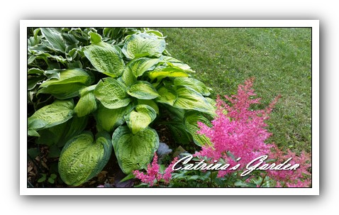 Hosta Paridigm and Astilbe Amethist Mist