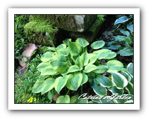 Hosta Radiant Edger and Little Wonder