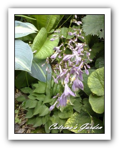 Hosta Venusta with Touch of Class, Drumstick Primrose and Brunaria