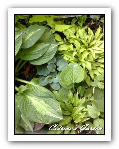 Hosta Wind River Gold, Twist of Lime, Striptease, Blue Moon, Brunaria, Lakeside Downsized