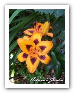 Oriental-lily-Loreto