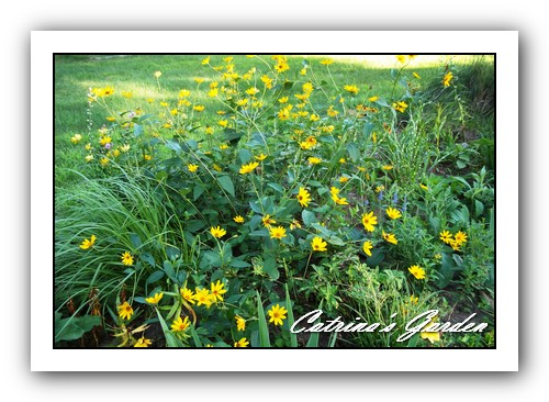 Oxeye Sunflower - Heliopsis helianthoides