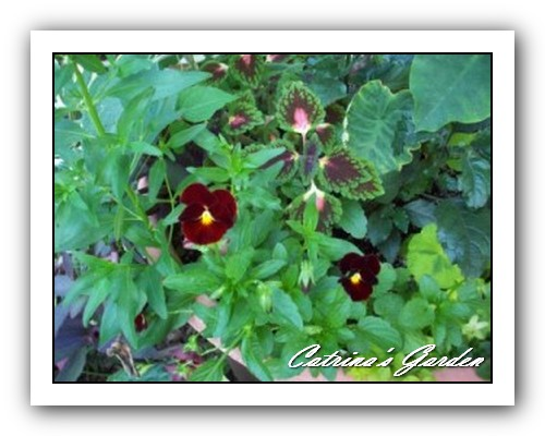 pansy-very-dark-red
