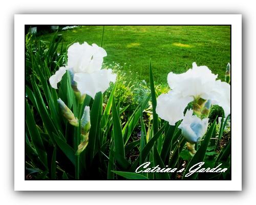 Iris Frost Echo