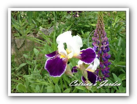 Iris Wabash and Lupine (2)