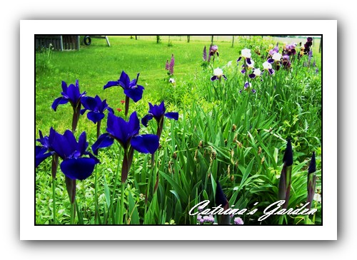 Siberian iris laughing brook and Iris Wabash