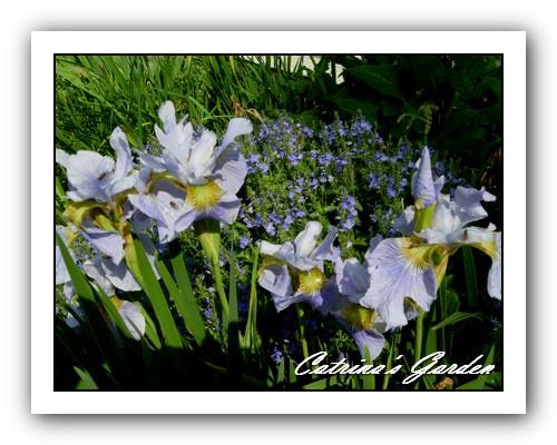 Siberian Iris Sky Wings
