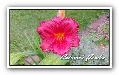 Daylily Little Fat Dazzler1