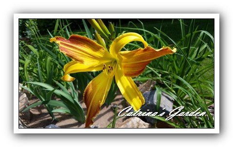 Daylily Spindazzle (2)1