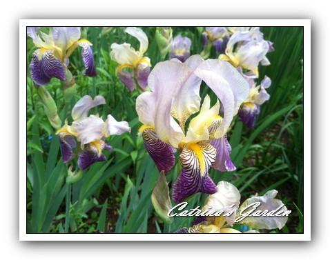 Iris Neglecta (3)1