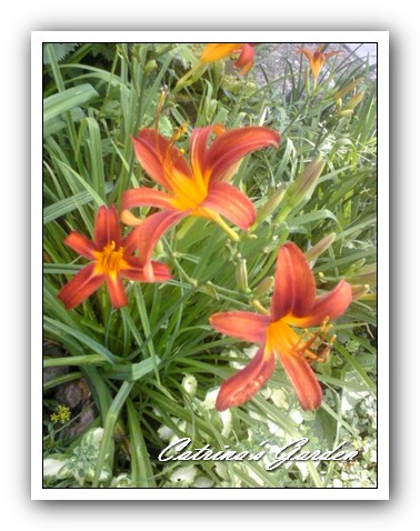 daylily flaming Sword1