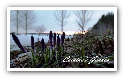 Crocus with snow (3)1