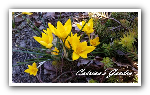 Crocus yellow (5)1