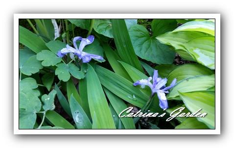 Iris Cristata1