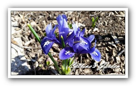 Iris Reticulata (2)1