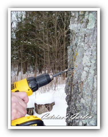 Maple Syrup drilling holes1