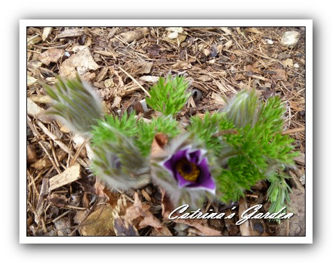 Pasque Flower 21