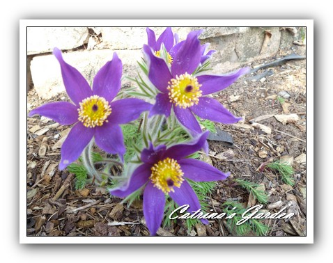 Pasque Flower 41